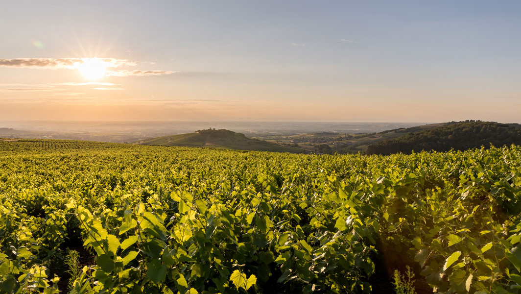 Vineyards in Beaujolais et Mont Brouilly