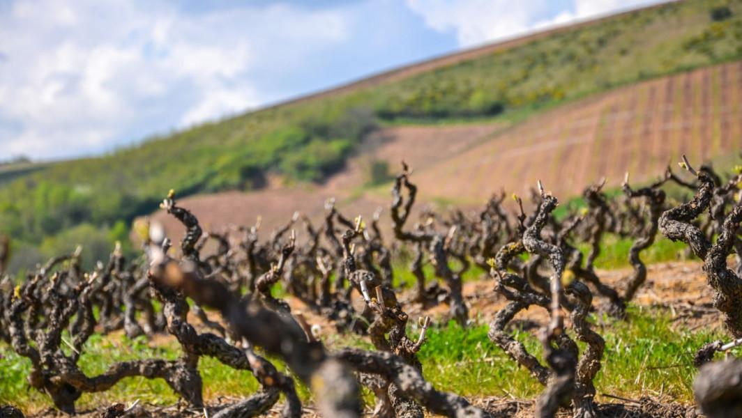 Bourgeons sur les vignes de Salles-Arbuissonnas