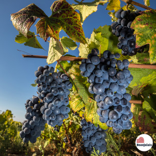 Vendanges - Destination Beaujolais